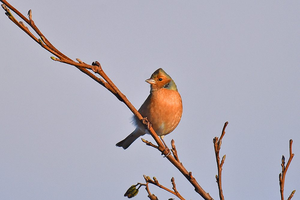 Picture of a Chaffinch on a small branch of a tree