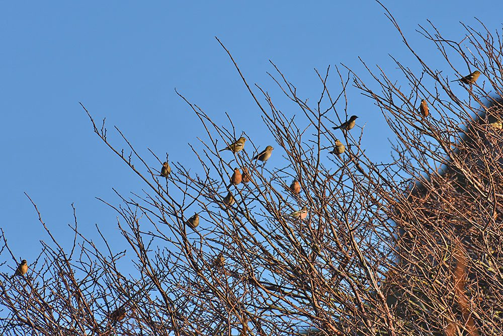 Picture of 15 Chaffinches in bare trees in November