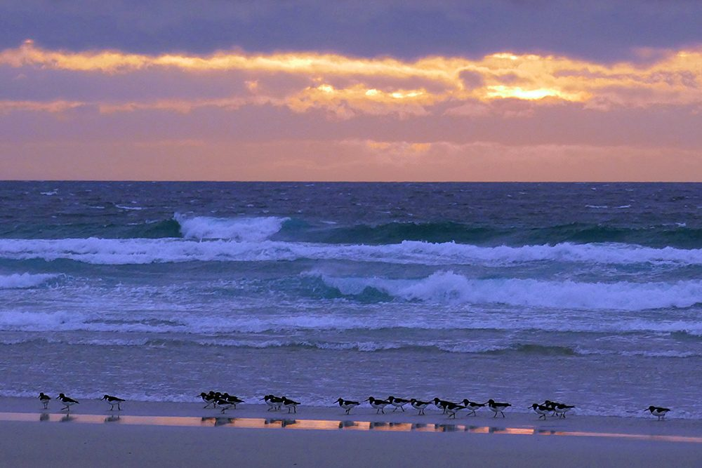 Picture of over 20 Oystercatchers on a beach with a colourful sunset behind them