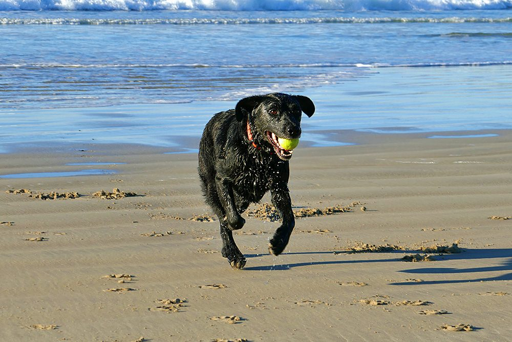 Picture of a wet black dog on a beach with a tennis ball in its mouth
