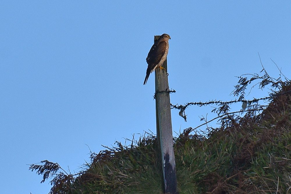 Picture of a Sparrowhawk perched on an old fence post