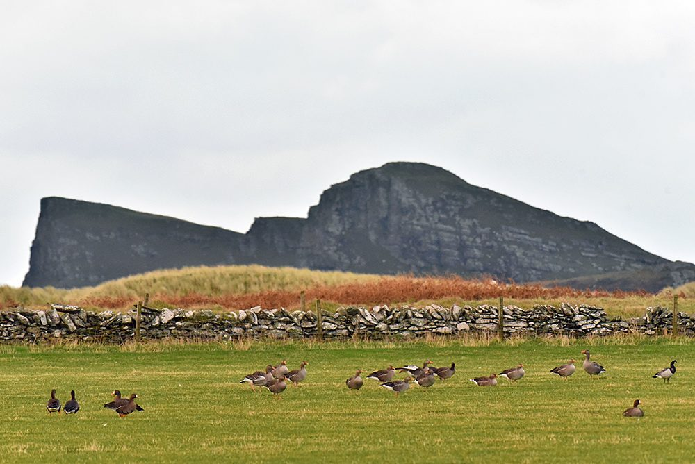 Picture of White-Fronted, Greylag and Barnacle Geese in a field, a rock formation in the background