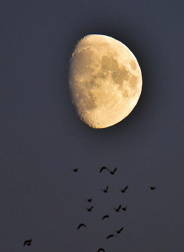 Picture of a Waxing Gibbous Moon and some birds flying just below