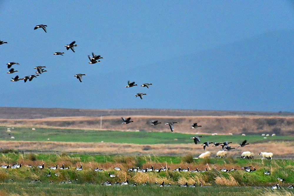 Picture of Barnacle Geese in flight as well as resting on a sea wall