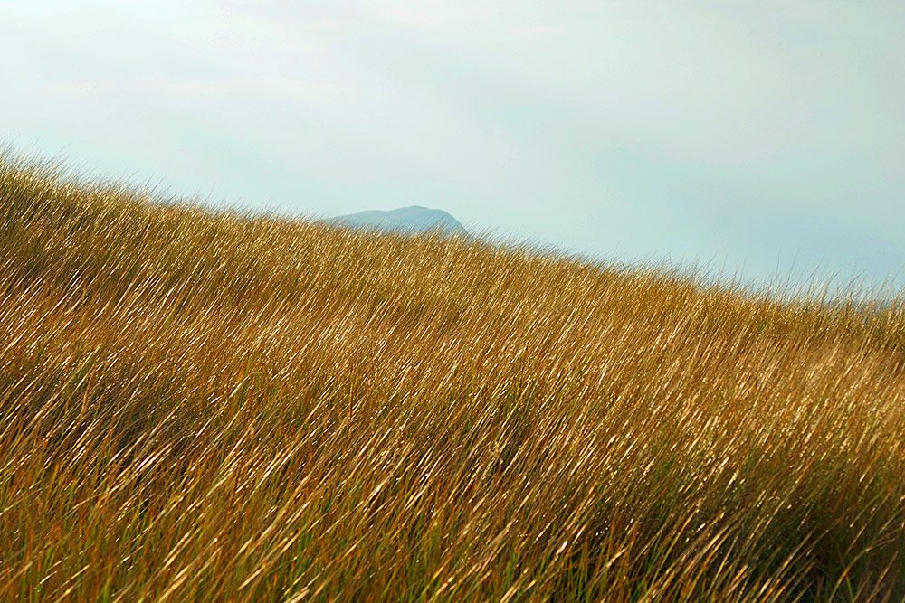 Picture of beachgrass on a gently sloping dune