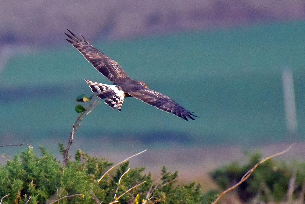 Picture of a Hen Harrier seen from behind
