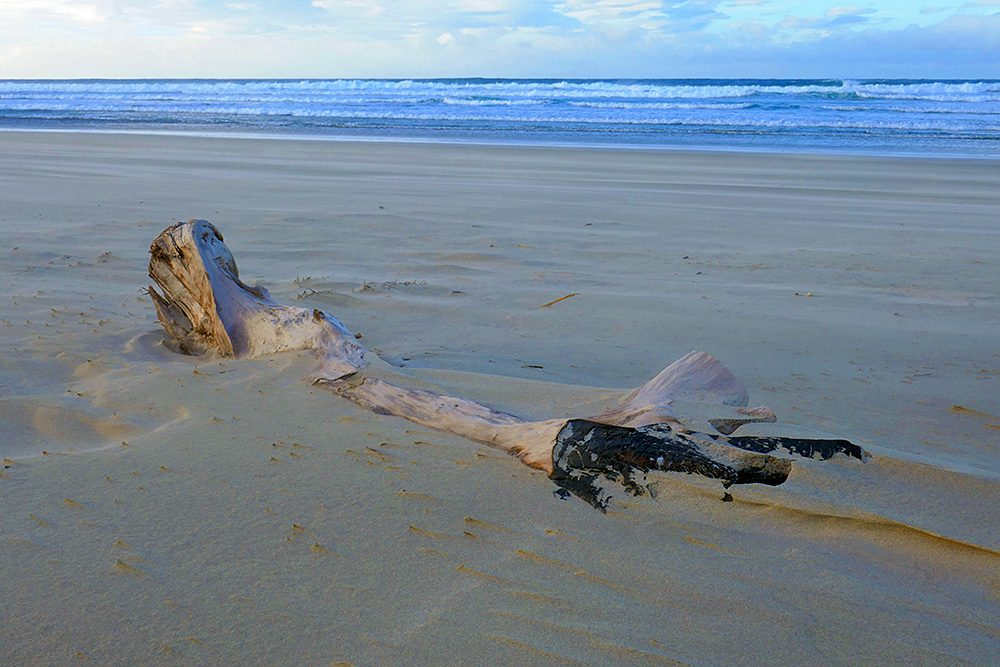 Picture of driftwood (a tree stump) half buried in the sand of a beach