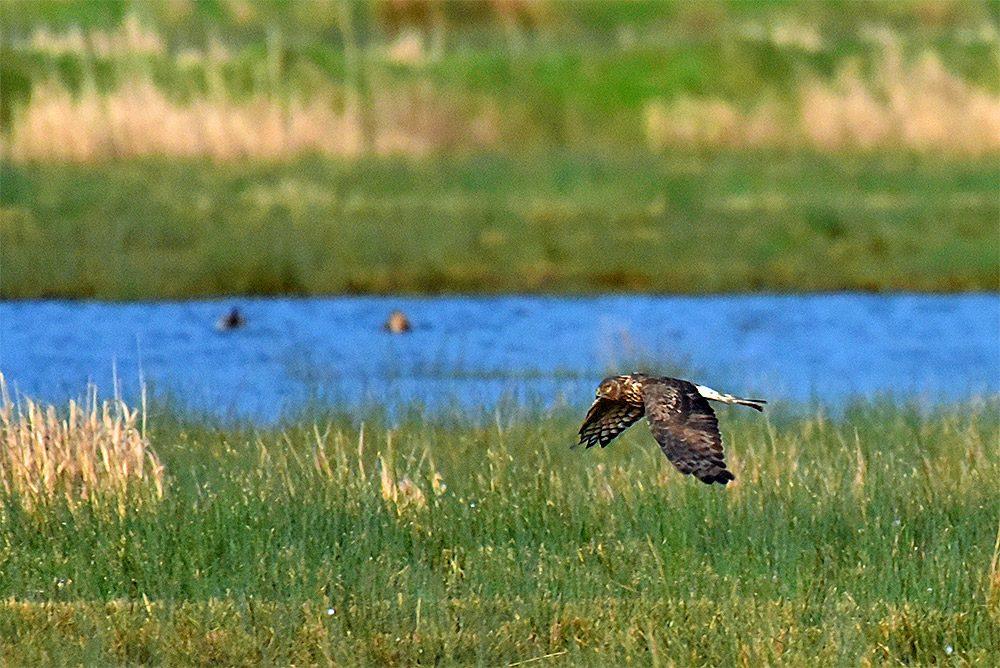 Picture of a female Hen Harrier in low flight