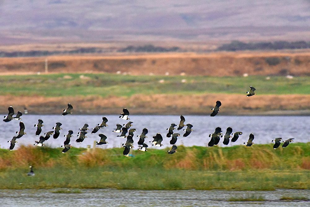 Picture of a large group of Lapwings in flight