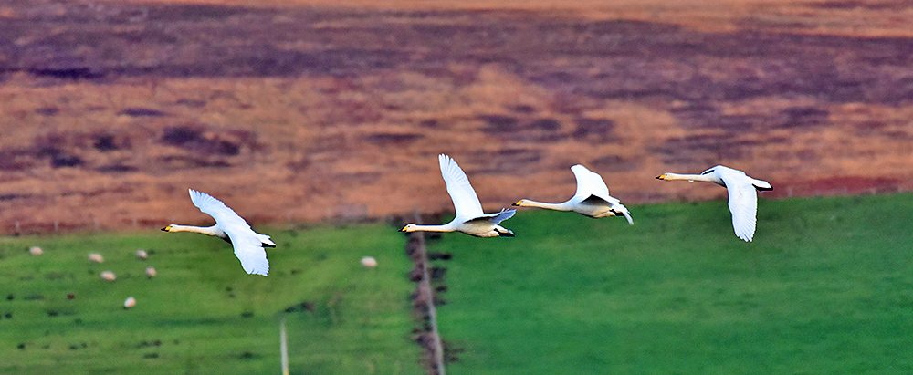 Picture of four passing Whooper Swans in flight