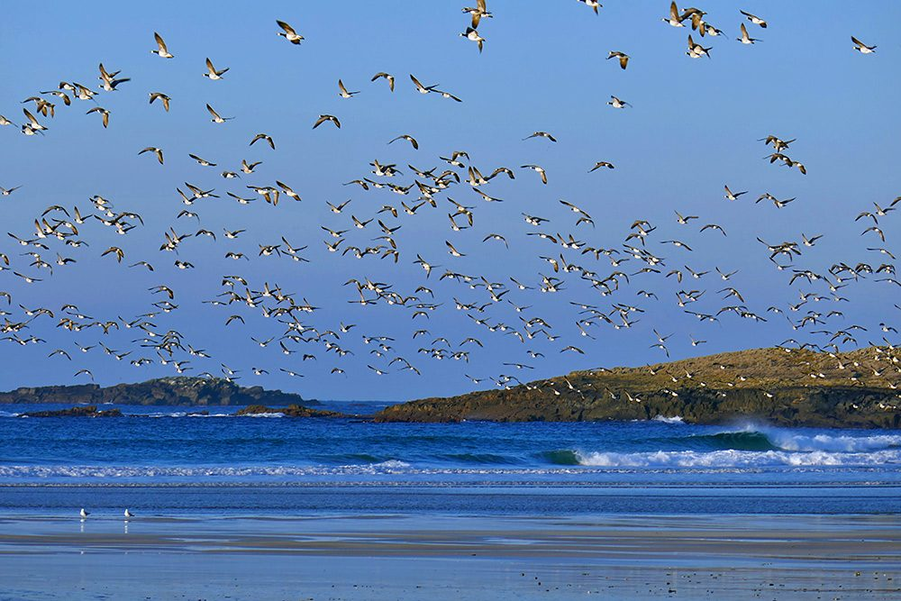 Picture of Barnacle Geese in low flight over a beach and a rocky shore, just after lifting off