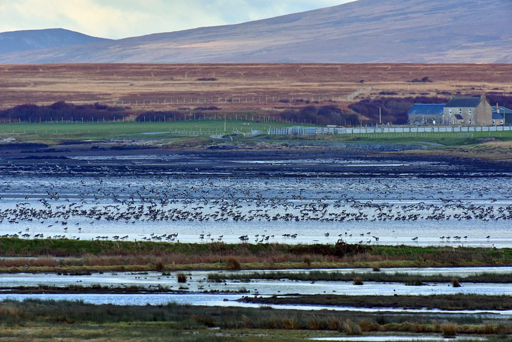 Picture of Barnacle Geese on a sea loch at low tide