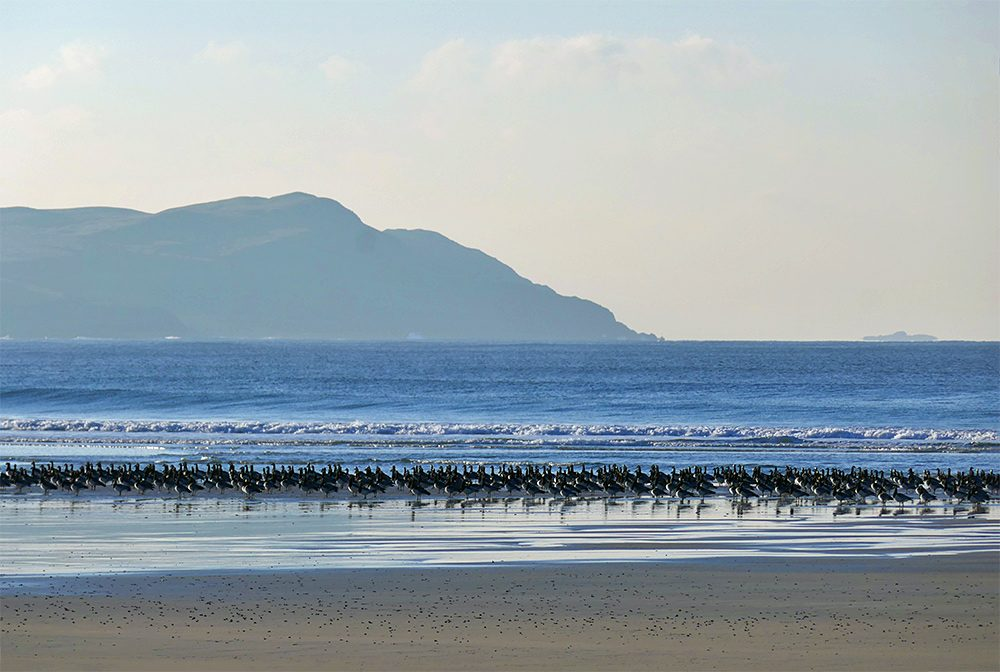 Picture of Barnacle Geese roosting on a beach in a wide bay