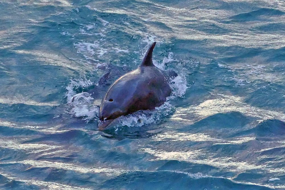 Picture of a Dolphin jumping in the Sound of Islay
