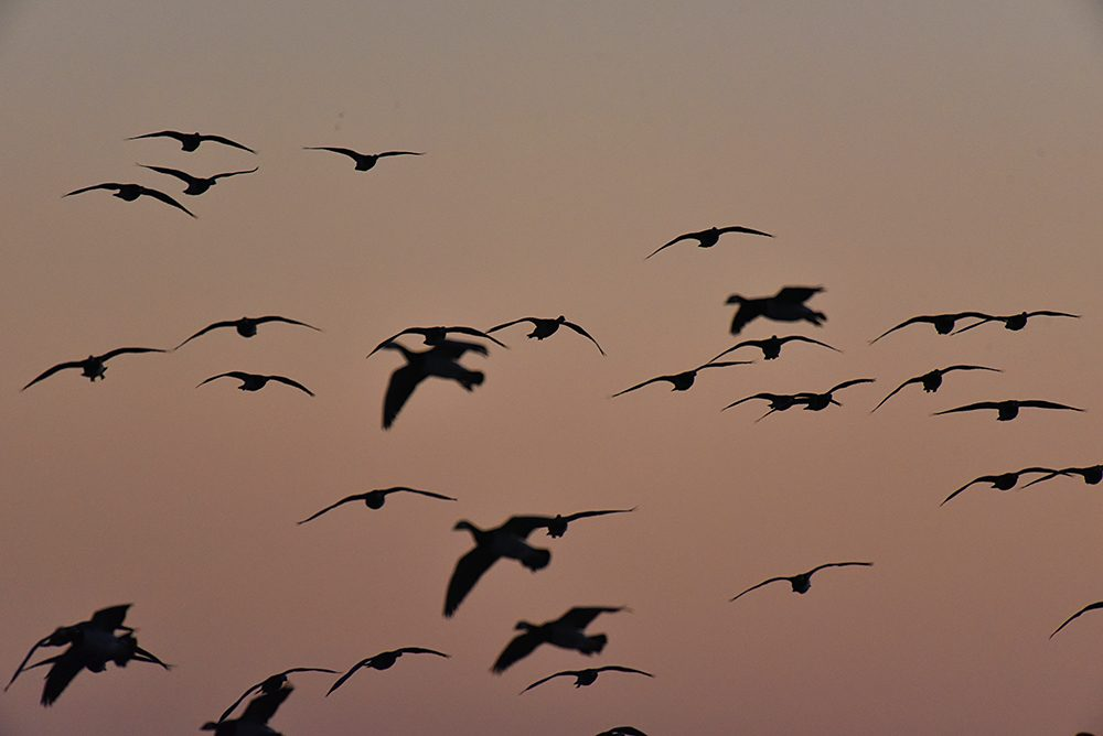 Picture of the silhouettes of Barnacle Geese in flight in the evening light