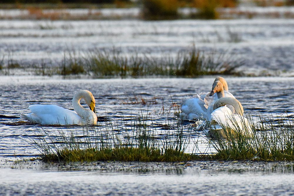 Picture of four whooper swans in a flooded marshland