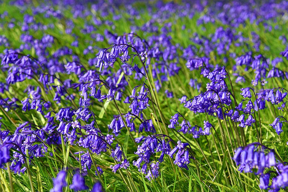 Picture of Bluebells in full bloom