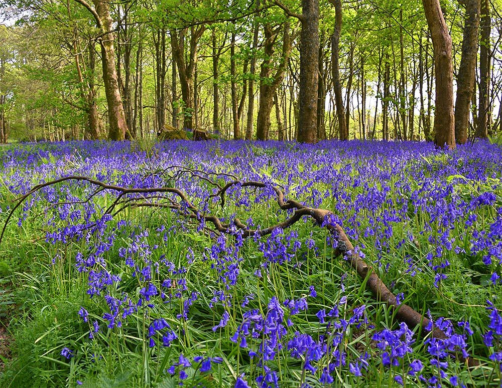 Picture of lots of Bluebells around a fallen branch in a wood