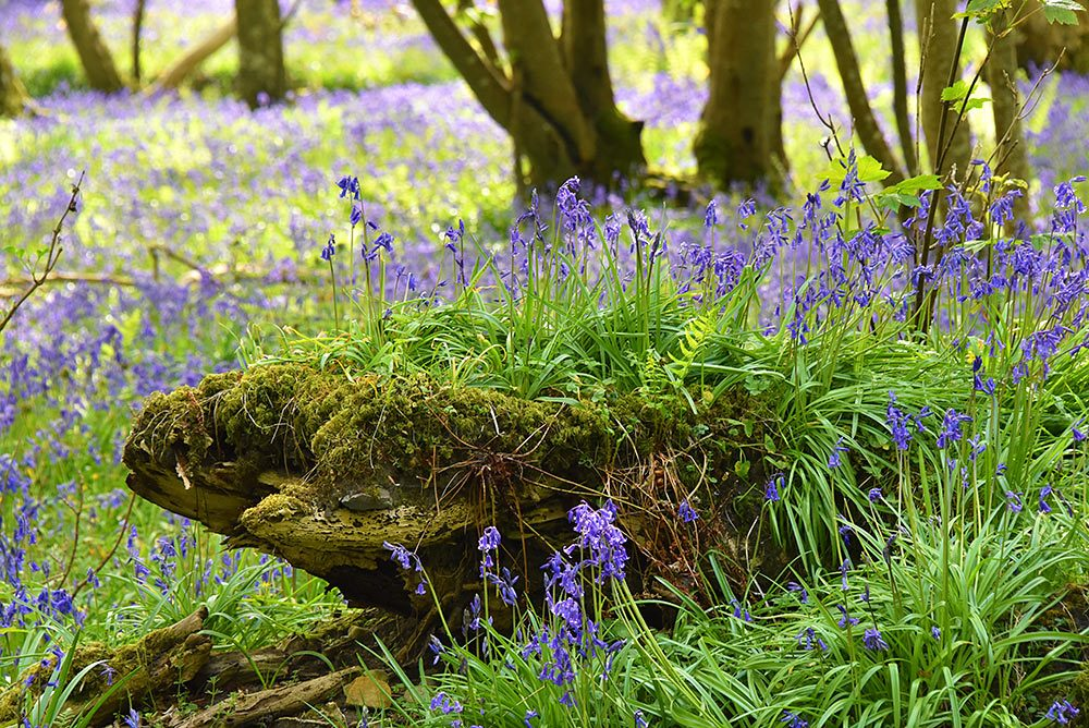 Picture of Bluebells on a rotting tree stump in a woodland