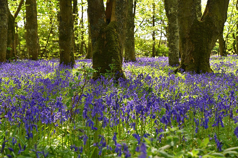 Picture of Bluebells under old trees