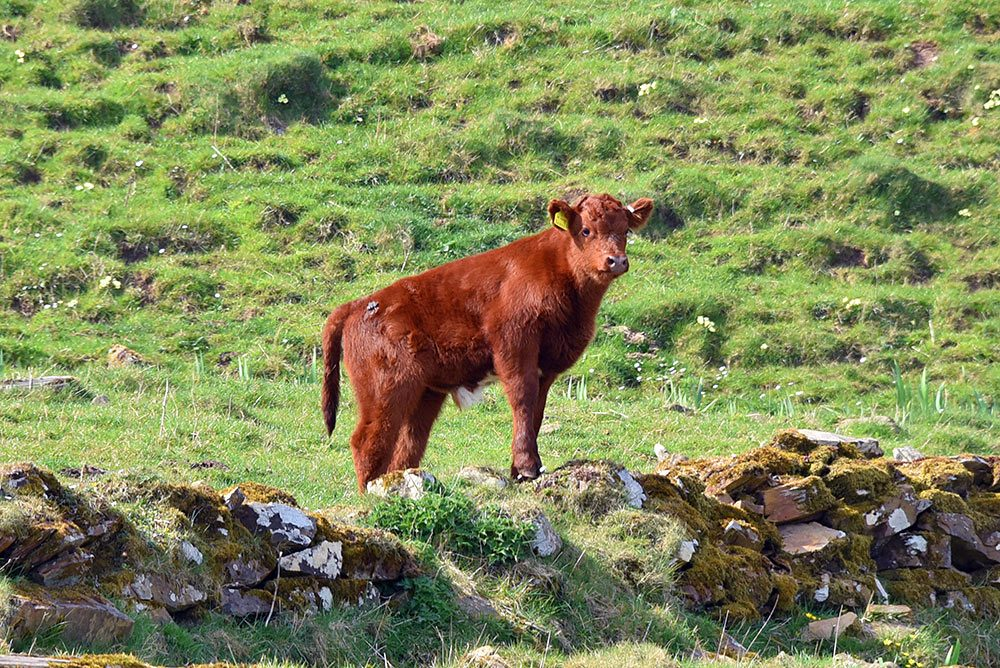 Picture of a young calf standing on the top of a ruined wall like on a lookout
