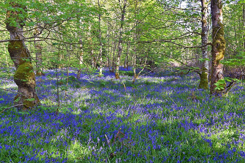 Picture of a woodland with the ground covered in Bluebells