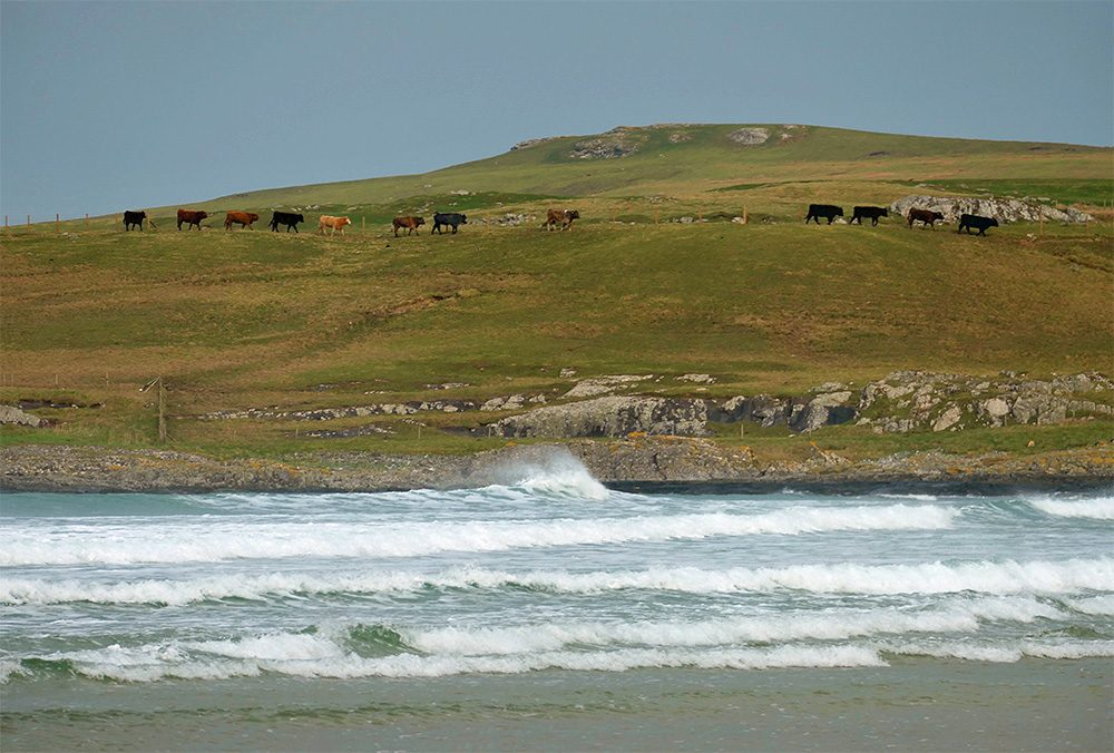 Picture of cattle walking along a ridge below a small hill above a bay