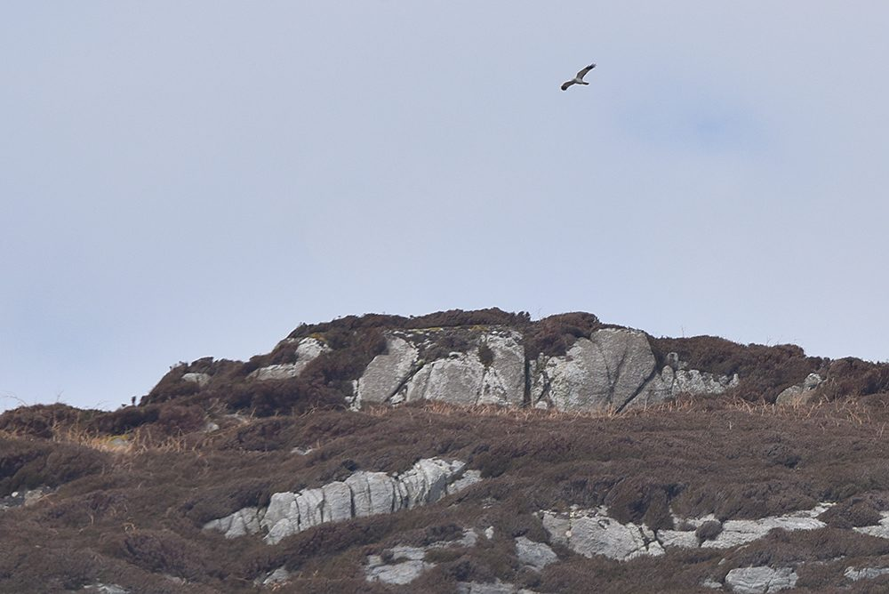 Picture of a male Hen Harrier in flight over a rocky top of a hill