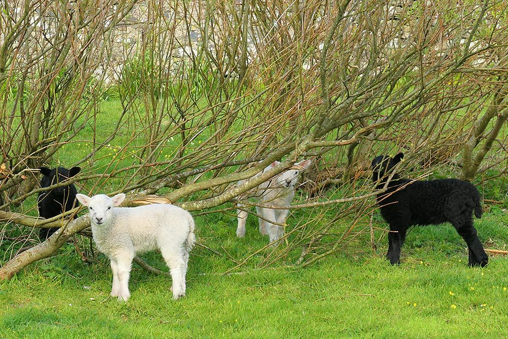 Picture of four lambs (two black, two white) in some bushes