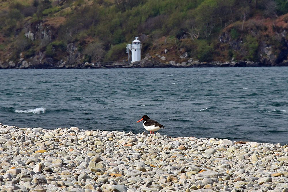 Picture of an Oystercatcher on a pebble shore, a lighthouse in the background on the other side of the sound