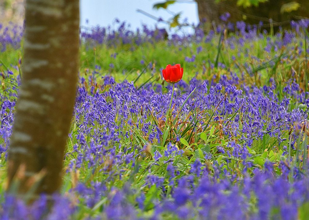 Picture of a red Tulip among lots of Bluebells