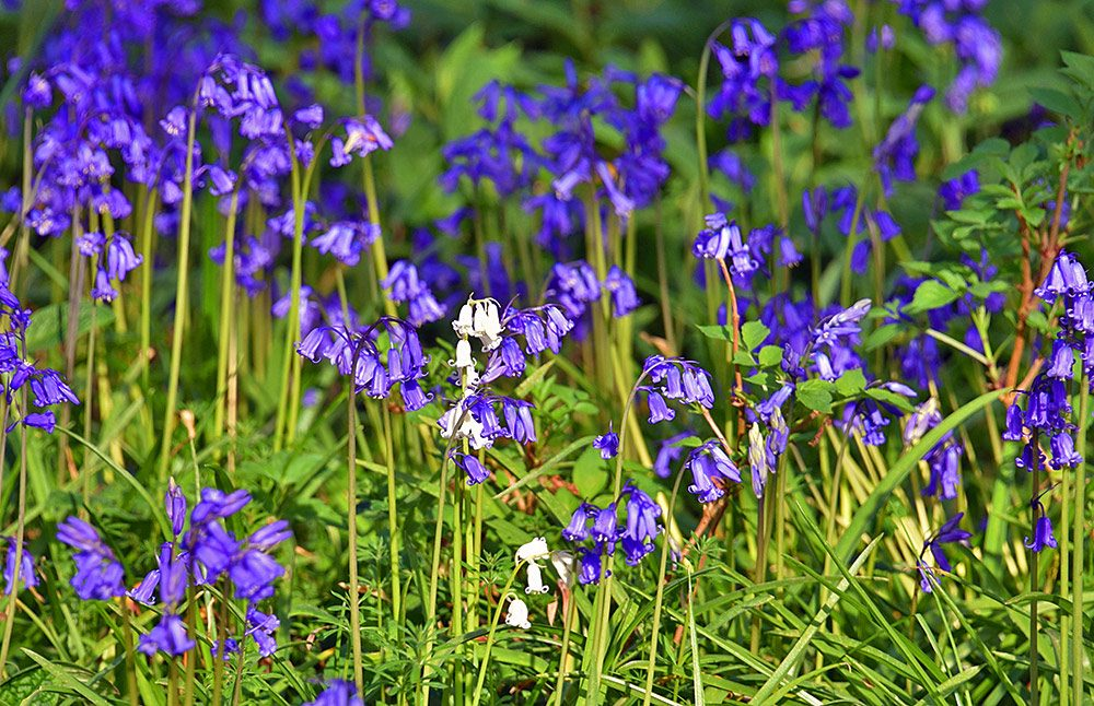 Picture of a few white Bluebells among many normal regular Bluebells
