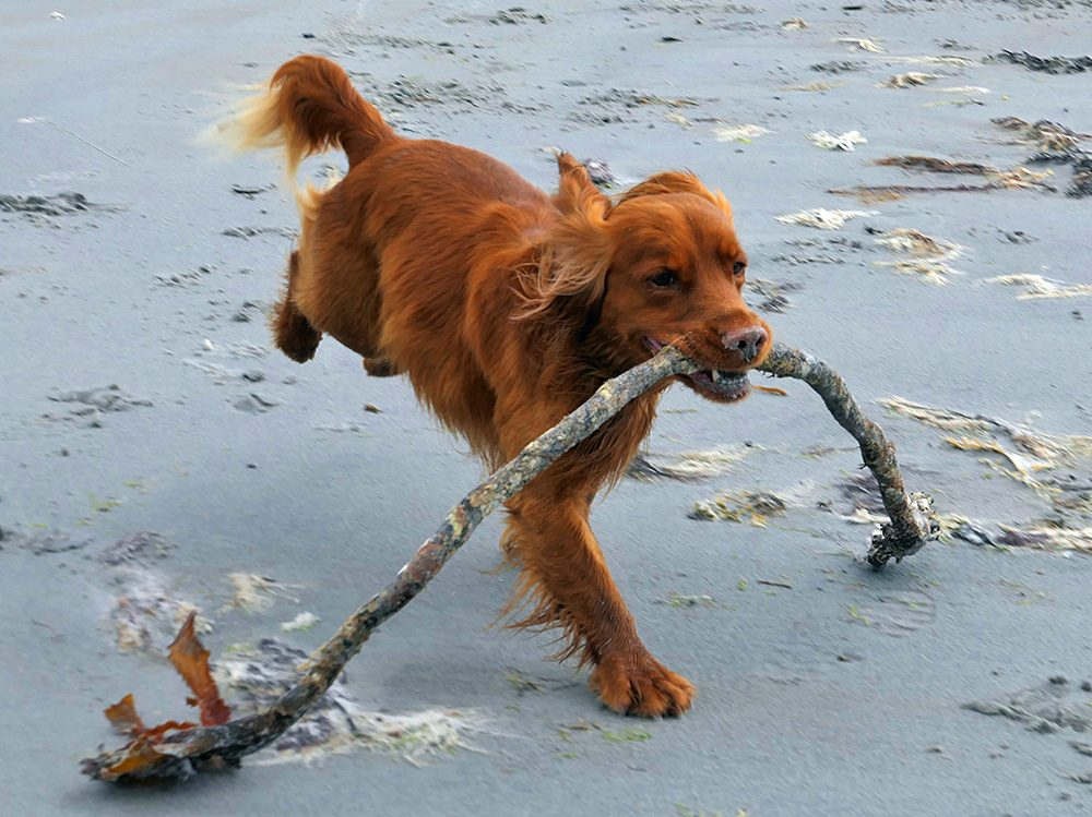 Picture of a young dog carrying a branch of seaweed