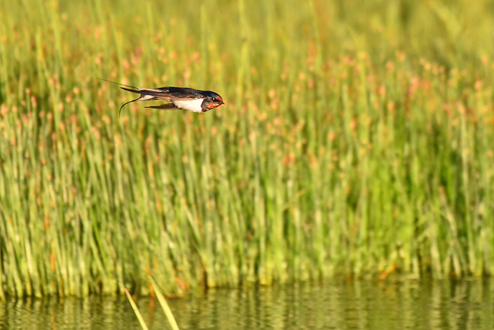 Picture of a Swallow flying low over some water, reeds in the background