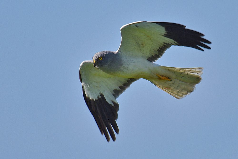Picture of a male Hen Harrier in flight, seen from the side below