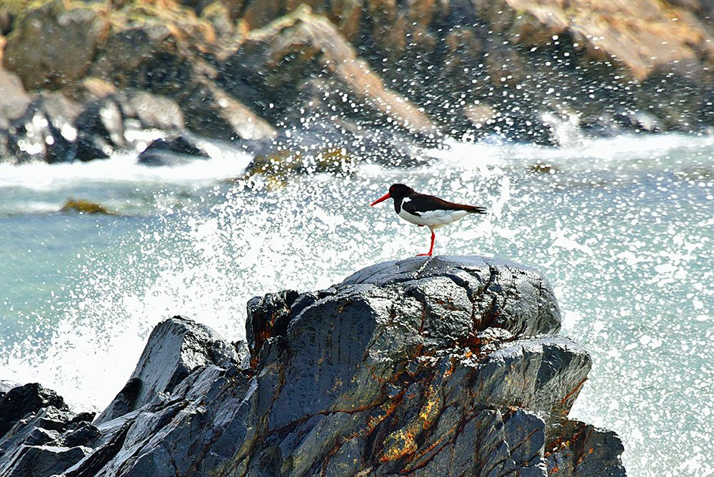 Picture of an Oystercatcher on a wet rock, a wave breaking at the rock sending spray into the air