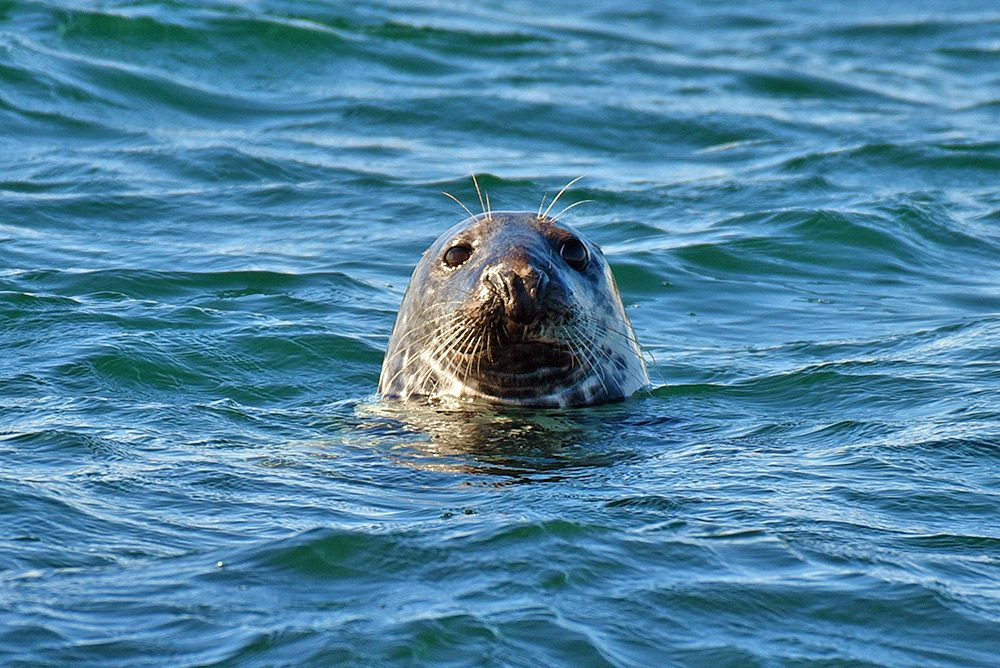 Picture of a Seal in the water, head sticking out