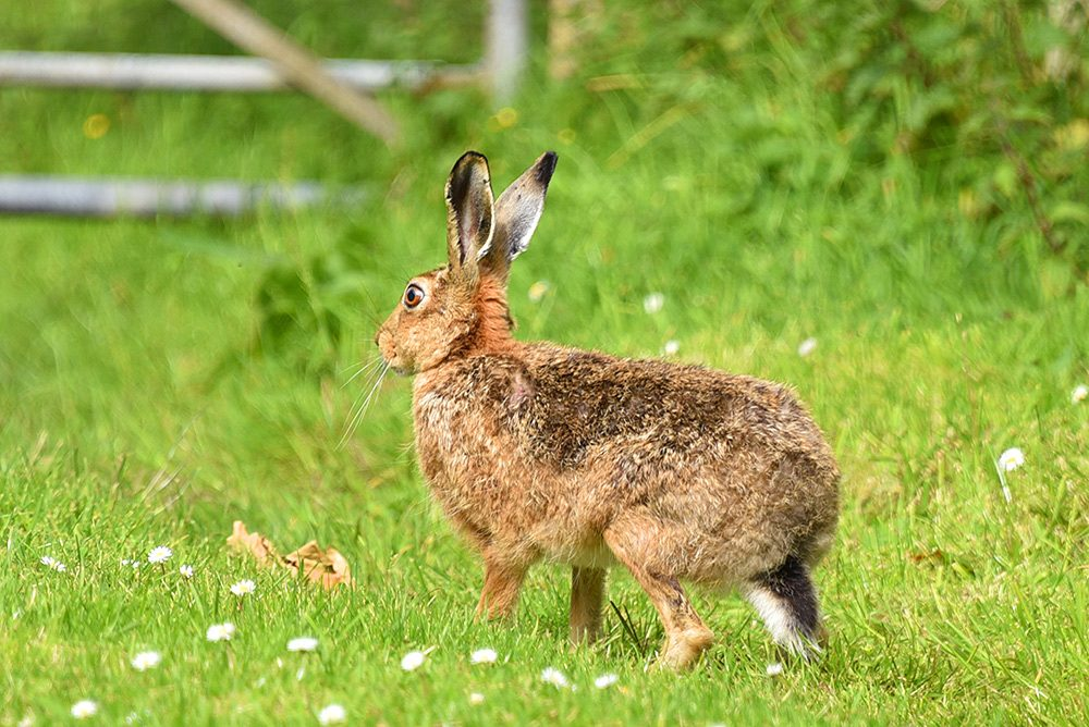Picture of a Hare on some grass, a gate just visible in the background
