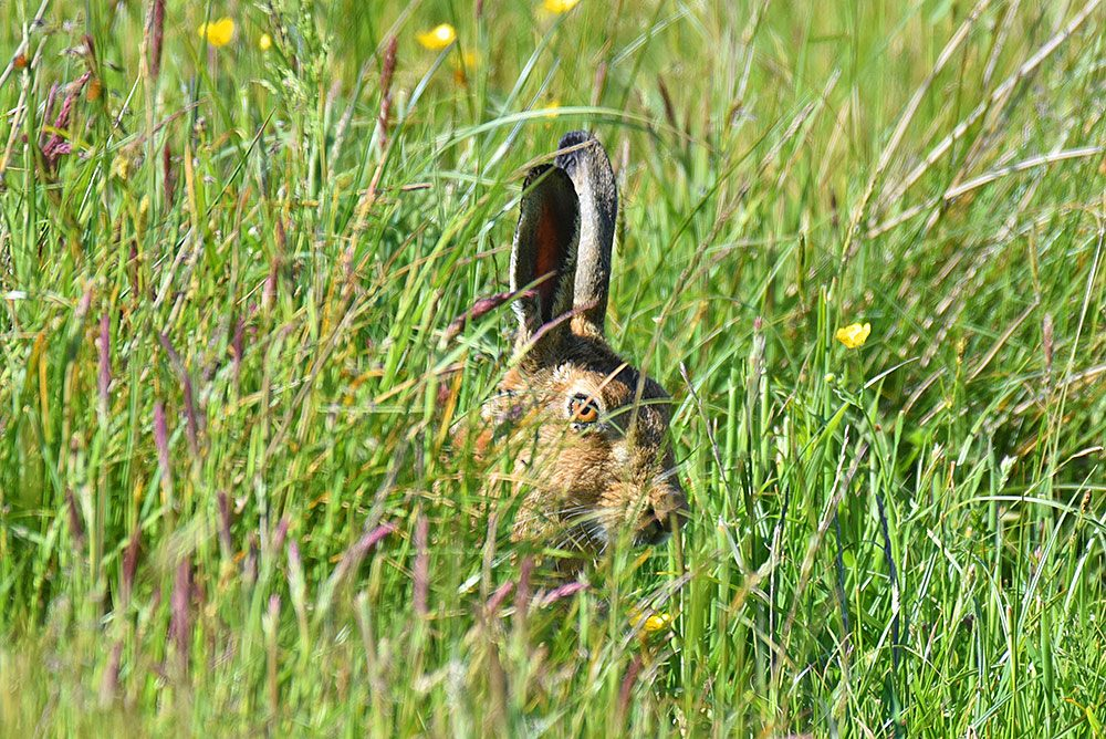 Picture of the head of a hare hiding in some high grass