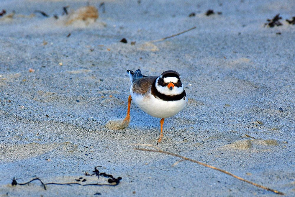 Picture of a Ringed Plover running on a beach, kicking up sand