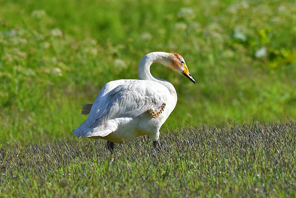 Picture of a Whooper Swan in bright June sunshine