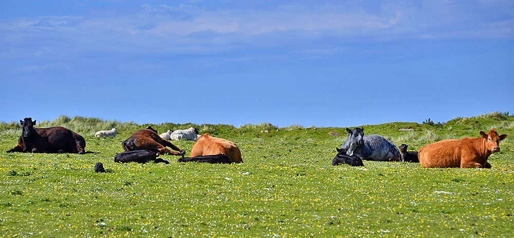 Picture of several cattle and a few sheep lying on a machair