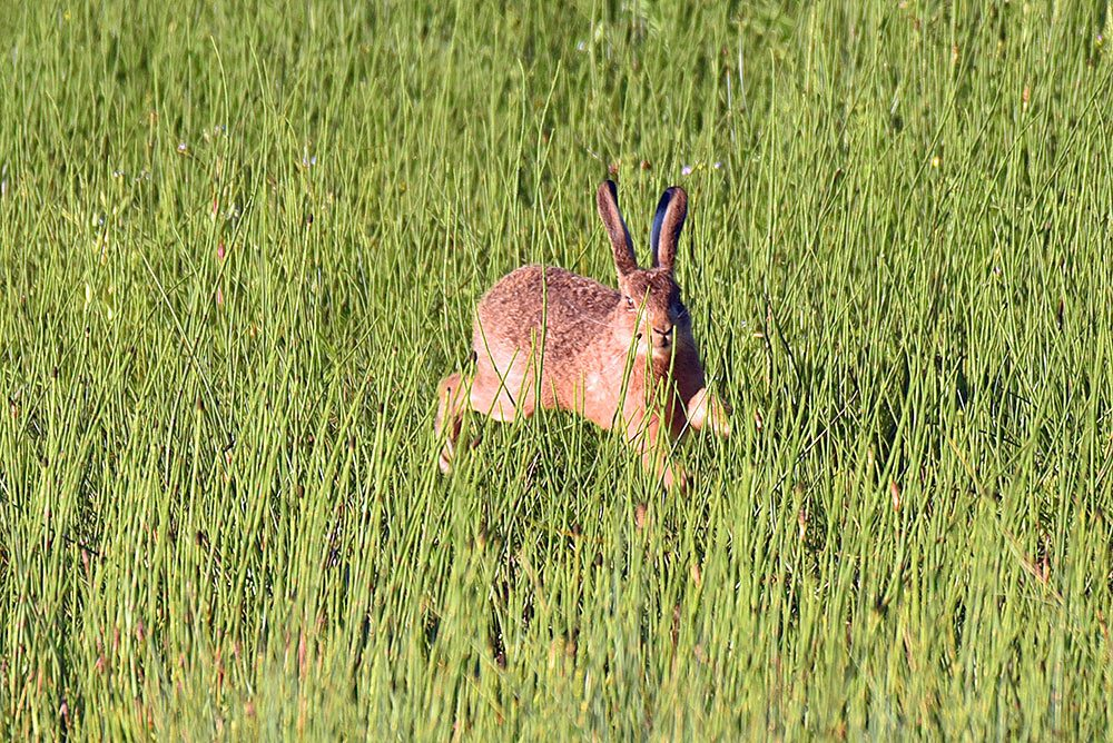 Picture of a Hare running through high grass