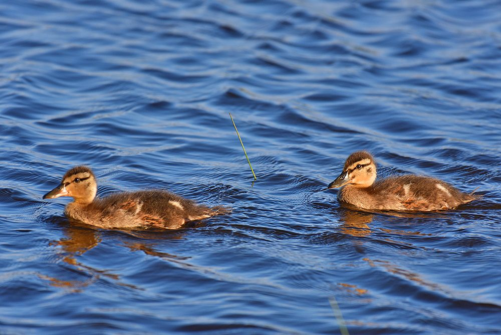 Picture of two ducklings in the water