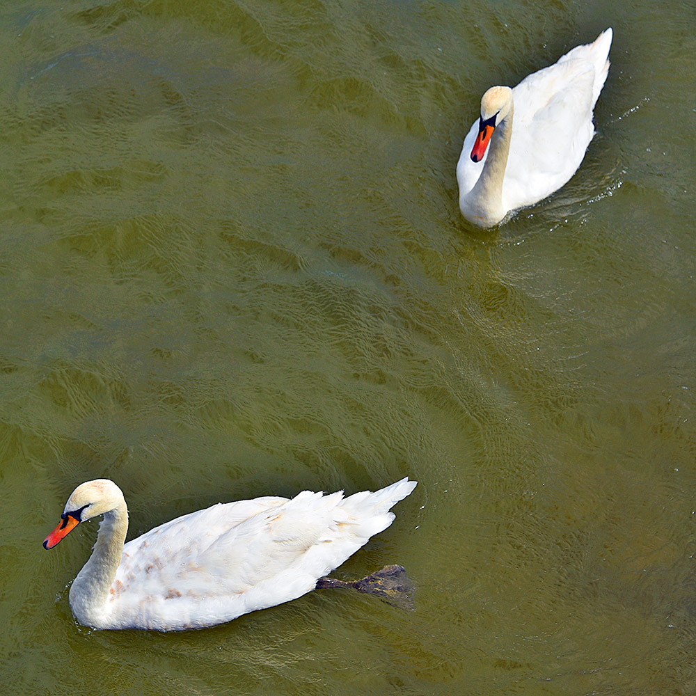 Picture of two mute swans seen from above