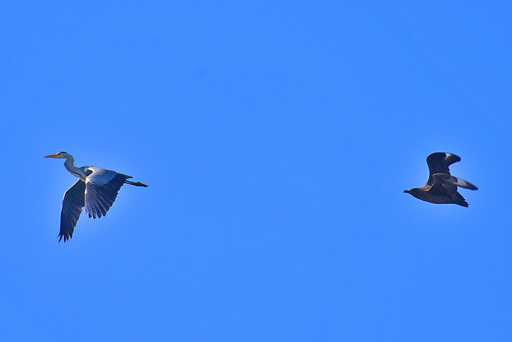 Picture of a Great Skua / Bonxie chasing a Heron, flying not far behind