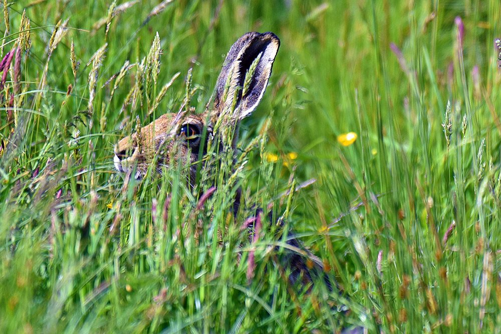 Picture of a Hare hiding in long grass, only an eye and the ears visible