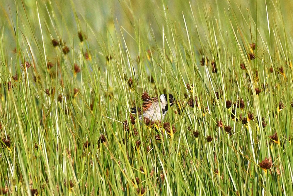 Picture of a Reed Bunting hiding in high grass