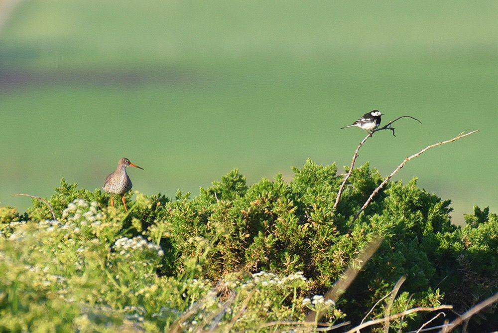 Picture of a Redshank and a Pied Wagtail on some bushes