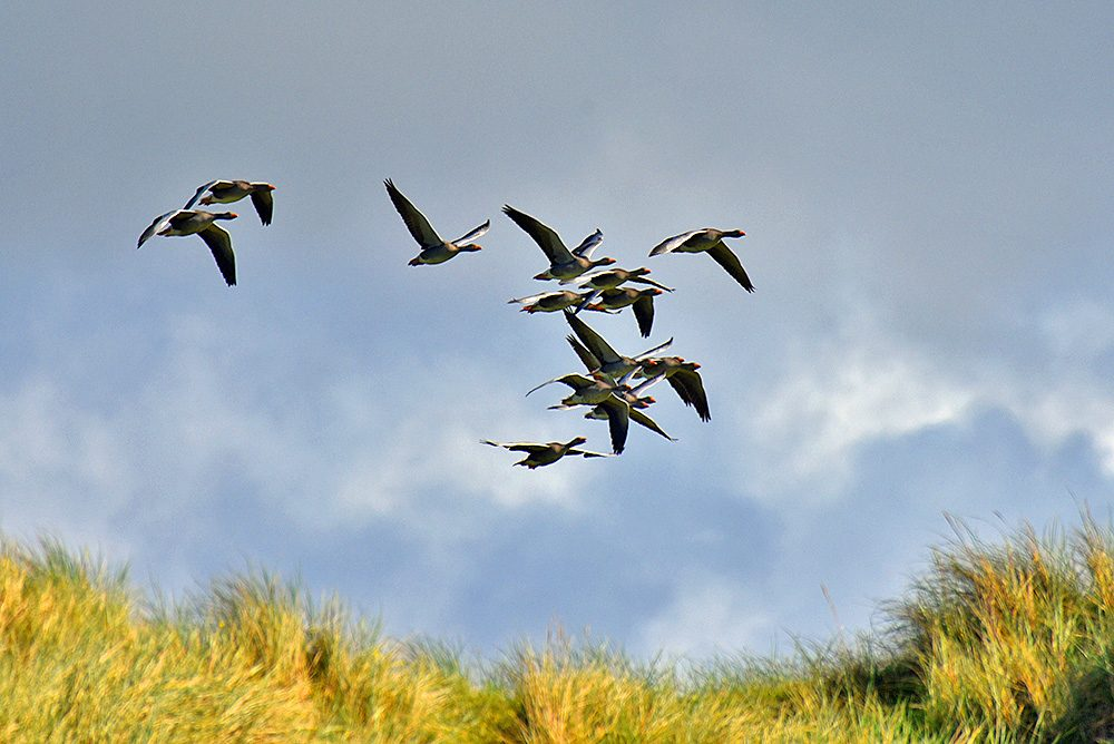 Picture of a skene of Greylag Geese flying over a dune